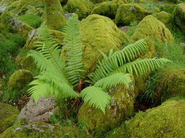 Fern in Wistman's Wood
