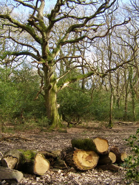 Red Shoot Wood, New Forest