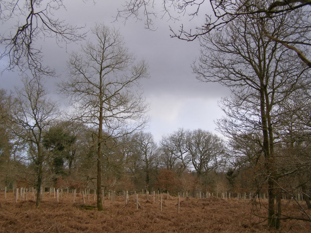 Replanted area in the Roe Inclosure, New Forest