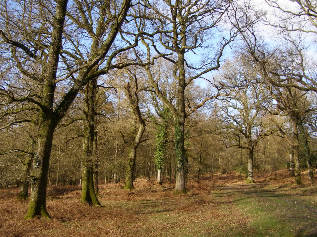 Mature oaks at Castle Piece, Roe Inclosure, New Forest