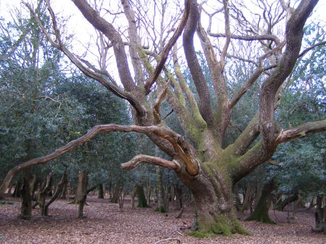 Oak pollard near Amie's Corner, New Forest