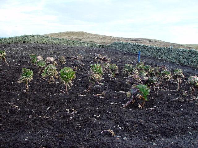 Shetland Kale in Kaleyard, Huxter, Whalsay, Shetland