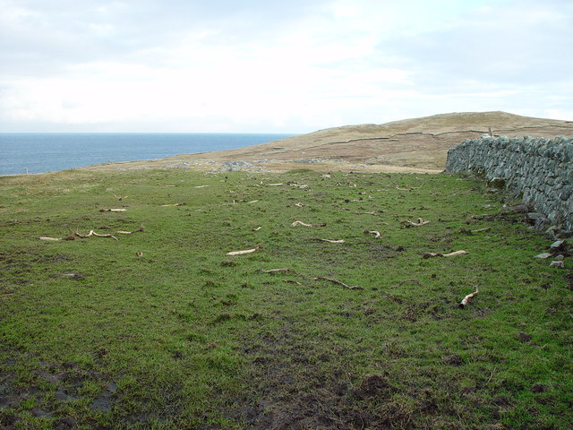 Kale Stalks left after sheep feed, Huxter, Whalsay, Shetland