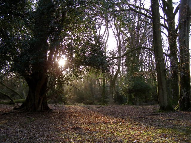 Late afternoon in Tantany Wood, New Forest