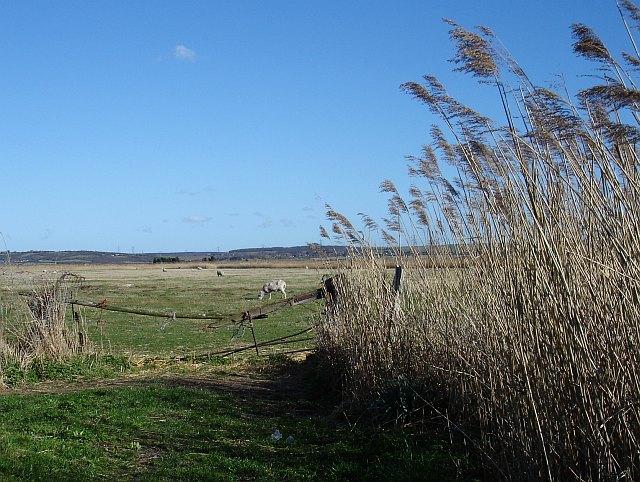 Sheep grazing Graveney Marsh