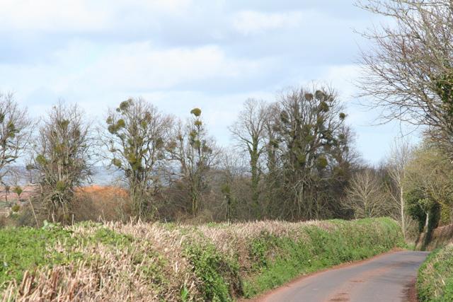 Nynehead: mistletoe-clad trees