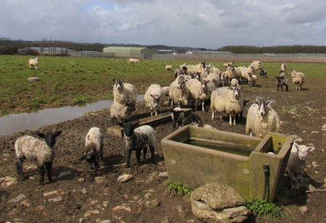 Sheep guarding HMP Ashwell