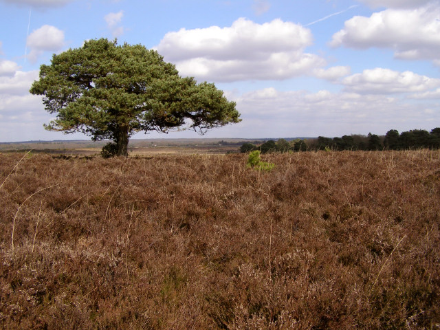Scots pine on Hincheslea Moor, New Forest