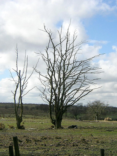 Dead Trees Near Greengairs