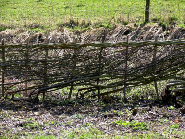 Laid hedge on Burrough Hill