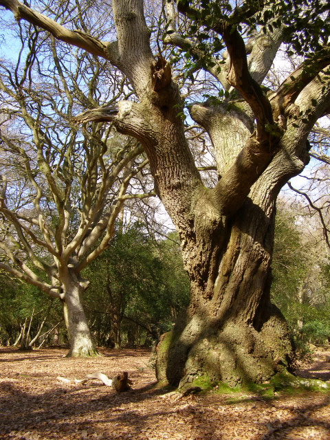 Old trees in Hincheslea Wood, New Forest