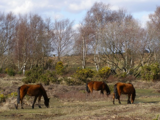 Ponies grazing between Trenley Lawn and Furzy Hill, New Forest