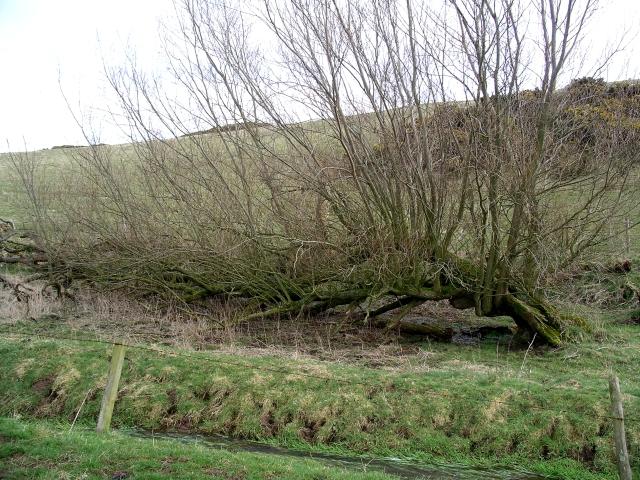 Horizontal Willow, Pilmuir farm