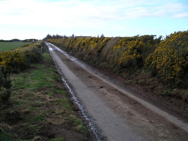 Gorse hedge near Pilmuir Farm