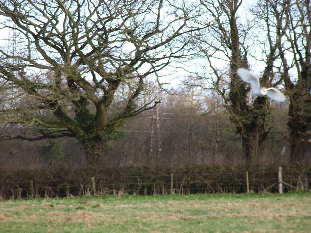 Barn Owl at Nately Scures