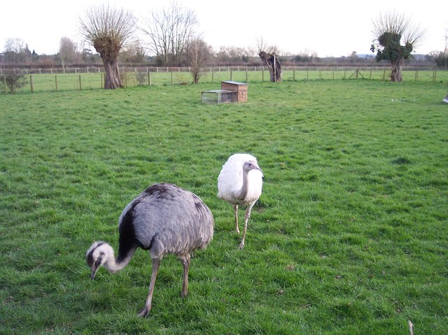 Rheas, Sutton Marsh