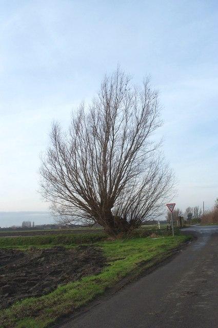 Lone fenland tree