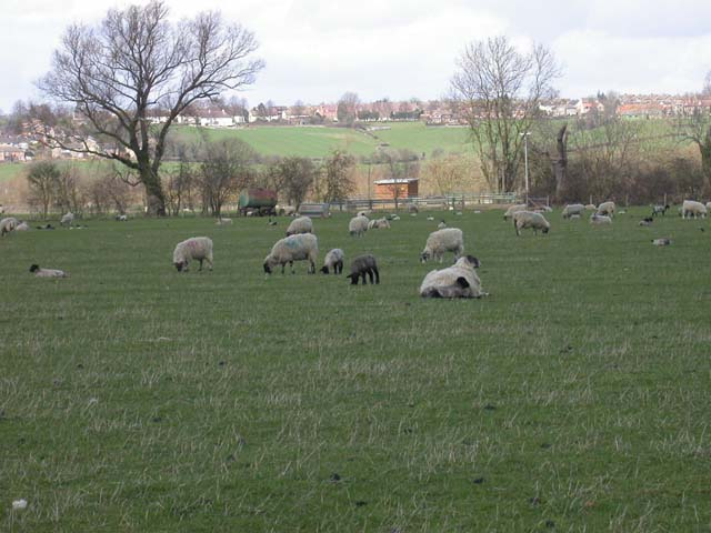 Lambs and faded Dye