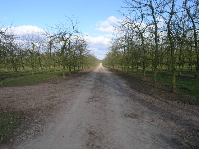 Avenue of Apples