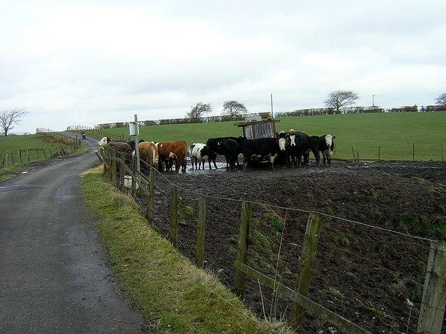 Cows Near Southfield