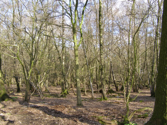 Hazel and birch woods on the approach to Pachington Farm