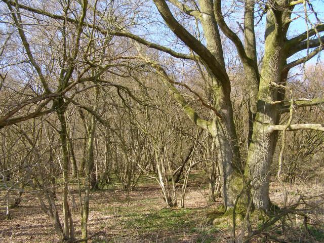 Oak and hazel woodland in Ladies' House Copse