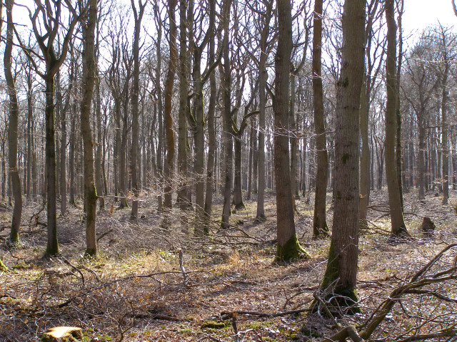 Oak trees in Hartway Copse, Harewood Forest