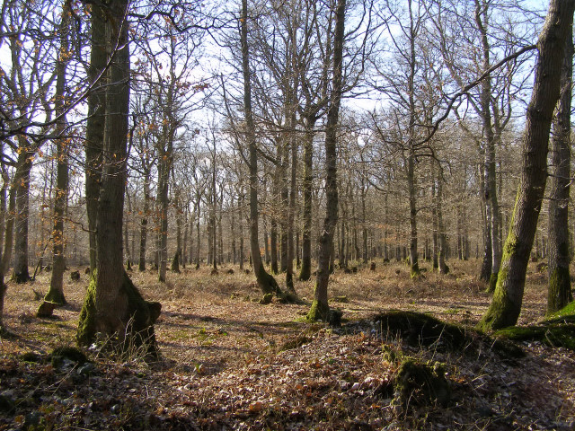 Burnt Lodge Copse, Harewood Forest