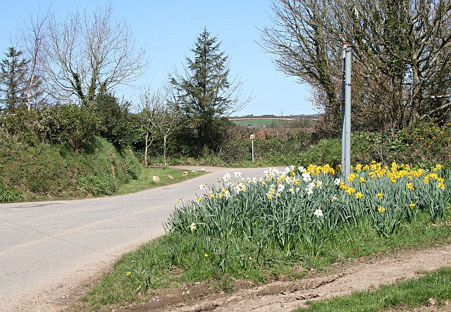 Daffodils in bloom at Coldwind Cross