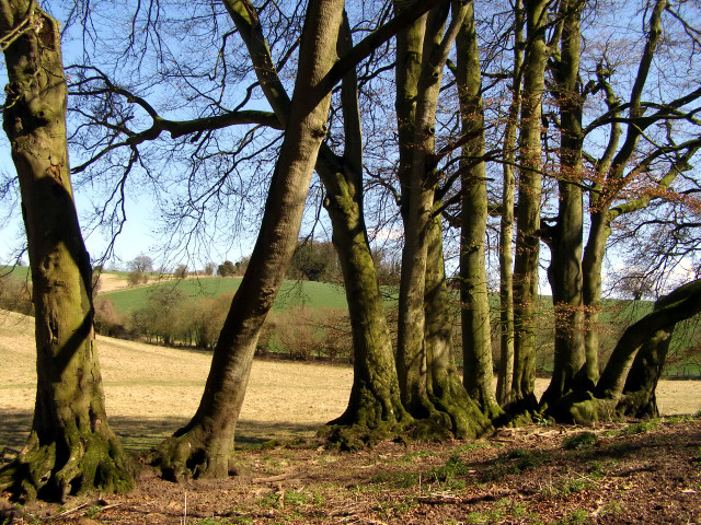 Beech trees all in a row, Morestead Down