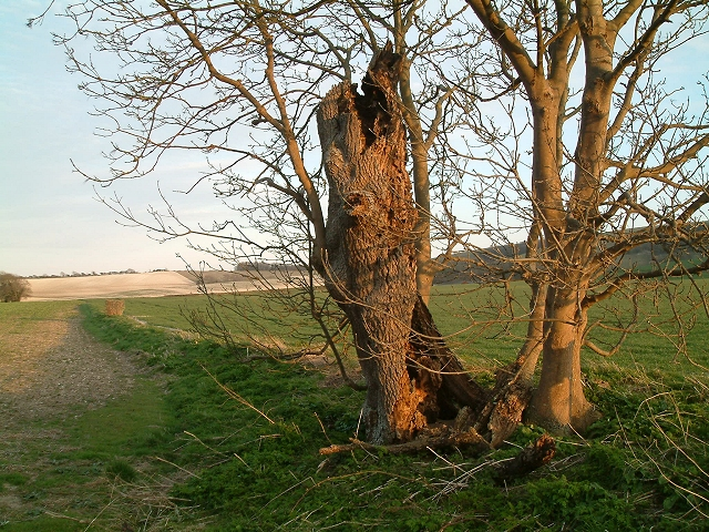 Ash Tree marking parish boundary