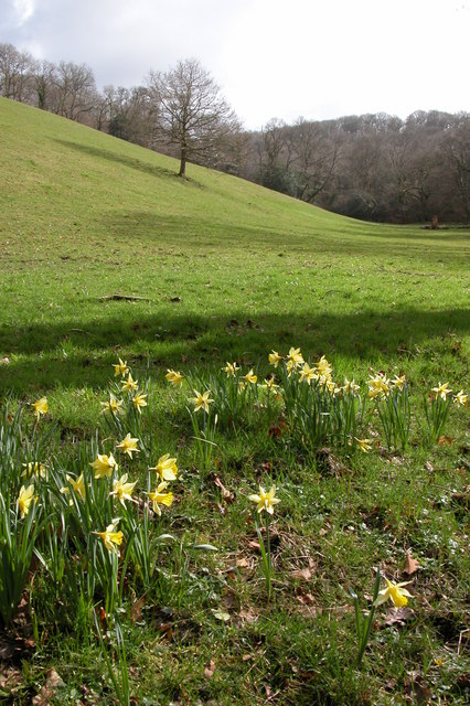 Daffodils in the Hollocombe valley