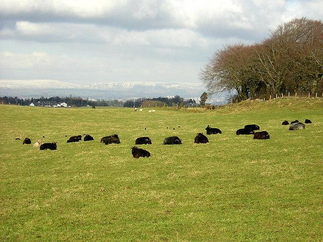 Black Sheep Near Newton Mearns