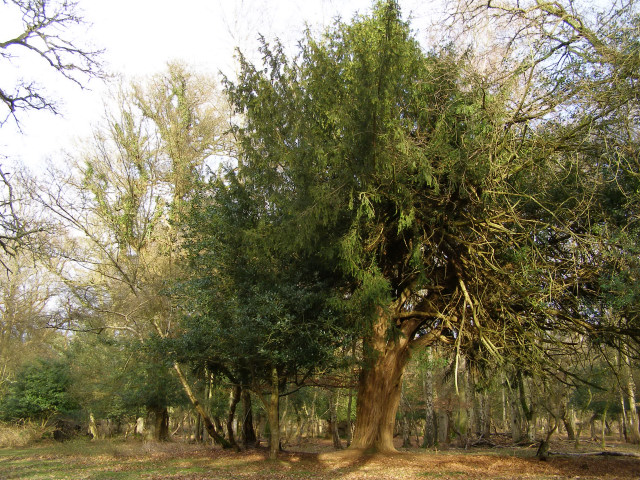 Yew tree in Ashurst Wood, New Forest