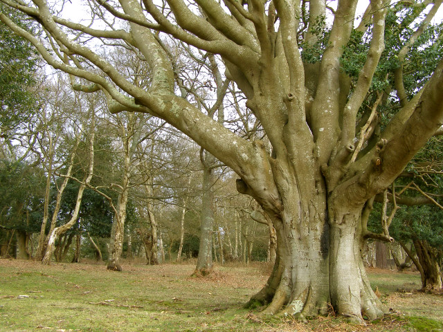 Beech pollard in Ashurst Wood, New Forest
