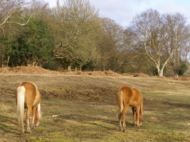 Ponies grazing at the edge of Ashurst Wood, New Forest