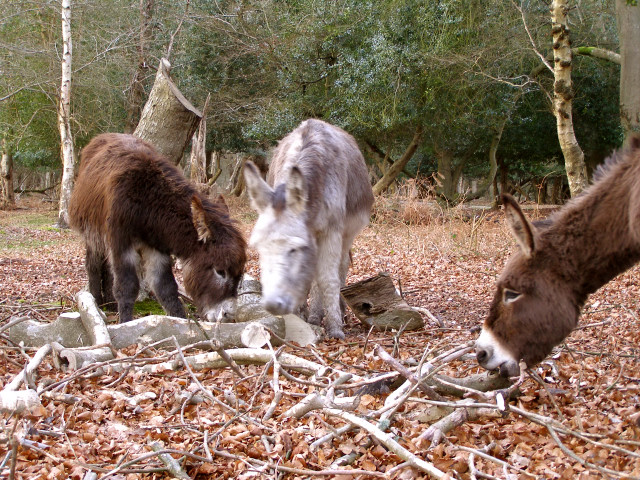 Donkeys eating bark in Ashurst Wood, New Forest