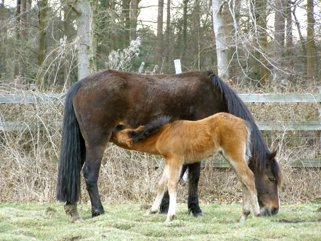 Pony and foal, Ashurst, New Forest