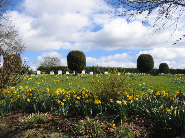 Daffodils and bee hives