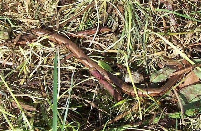 Slow Worm - Iver Heath Nature Reserve