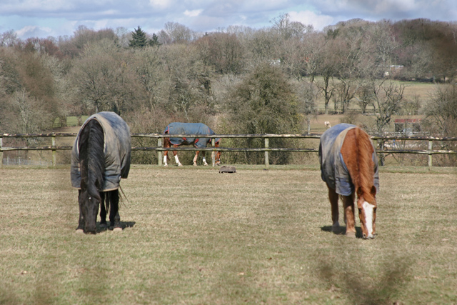Horses grazing near Hawthorn