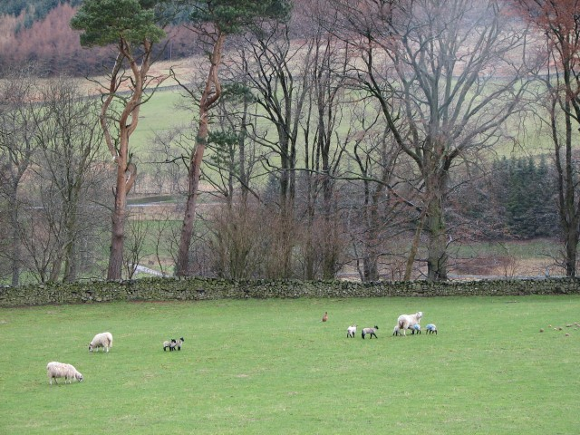 Lambs, turnips and pheasant