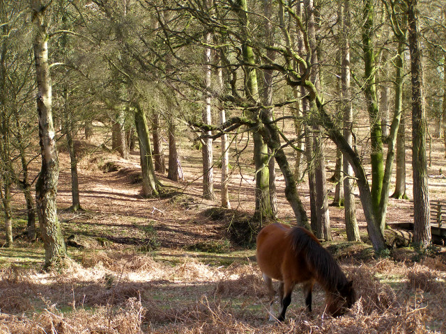 View from Picket Corner towards the Islands Thorns Inclosure, New Forest