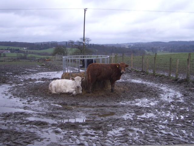 Cattle and mud