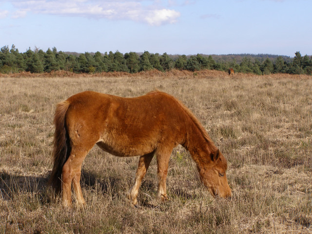 Pony grazing on the plateau, Coopers Hill, New Forest
