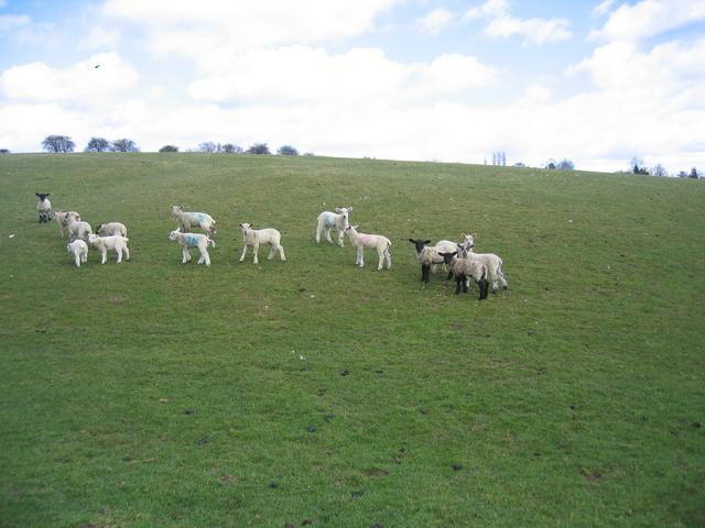 Lambs alone