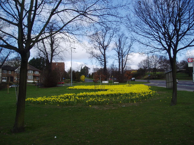 Daffodils and trees, Gravel Hill Close, Bexley, Kent