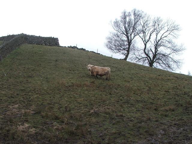 Bull in field at Cover Bridge.