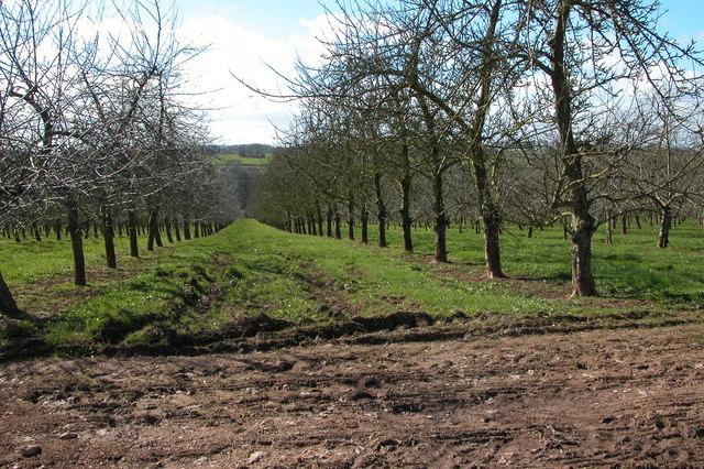 Orchards near Oakfields Farm