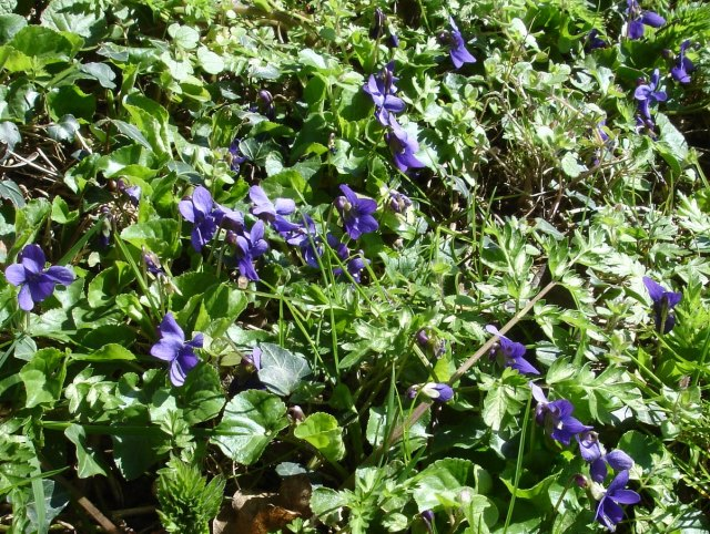 Violets by the Pilgrims' Way